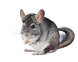 Hamster - Chinchilla - Degoe
