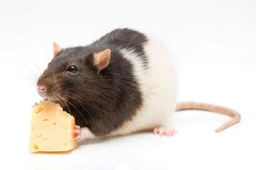 Rat - Muis